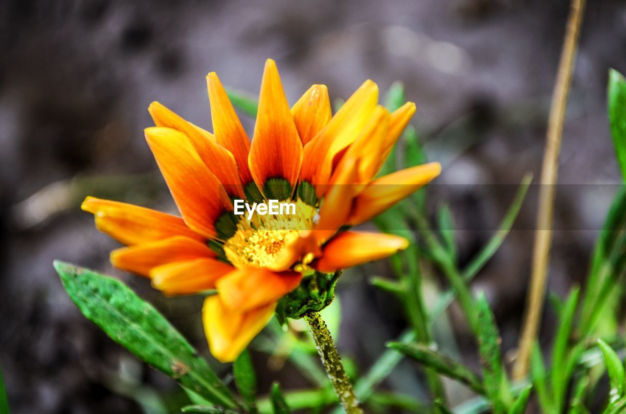 flower, petal, fragility, yellow, beauty in nature, freshness, nature, growth, flower head, plant, blooming, close-up, no people, outdoors, day, focus on foreground, gazania