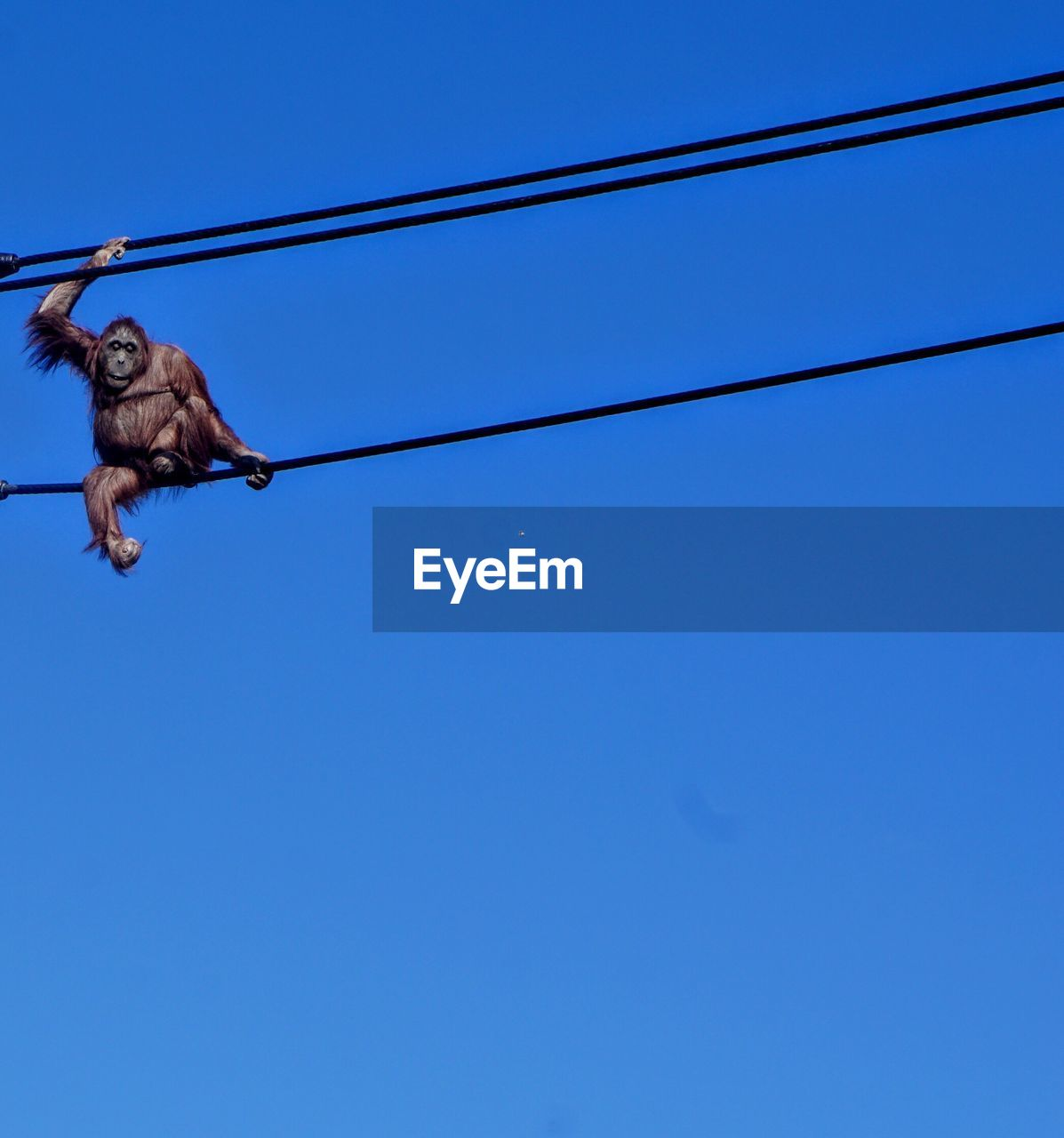 sky, animal, one animal, blue, low angle view, clear sky, animal themes, cable, vertebrate, day, animal wildlife, no people, copy space, animals in the wild, nature, rope, power line, hanging, connection, bird, outdoors, electricity, directly below, power supply