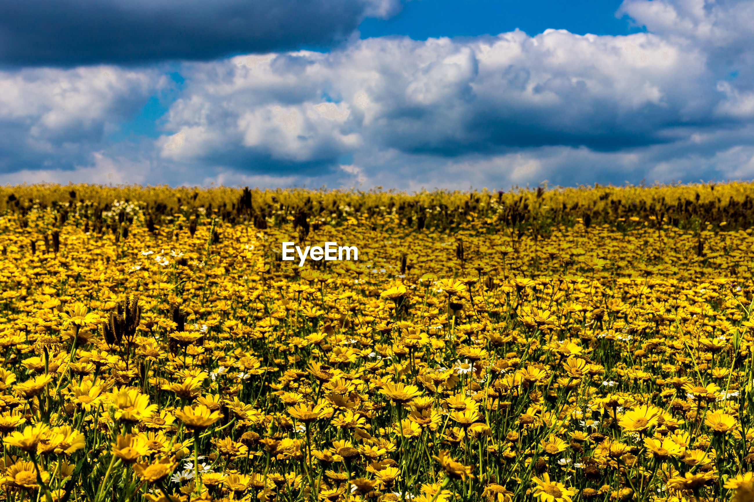 Yellow flowers blooming on field against cloudy sky