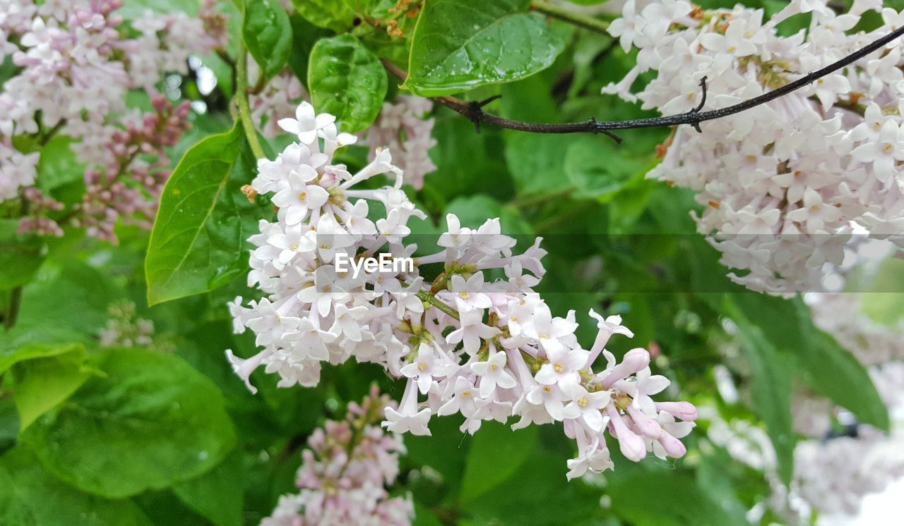 flower, fragility, growth, white color, beauty in nature, freshness, nature, blossom, petal, plant, day, no people, leaf, outdoors, close-up, green color, focus on foreground, blooming, flower head, springtime, branch, tree