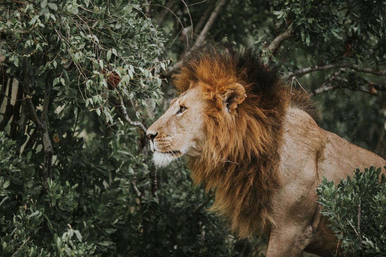 Lion by plants on field