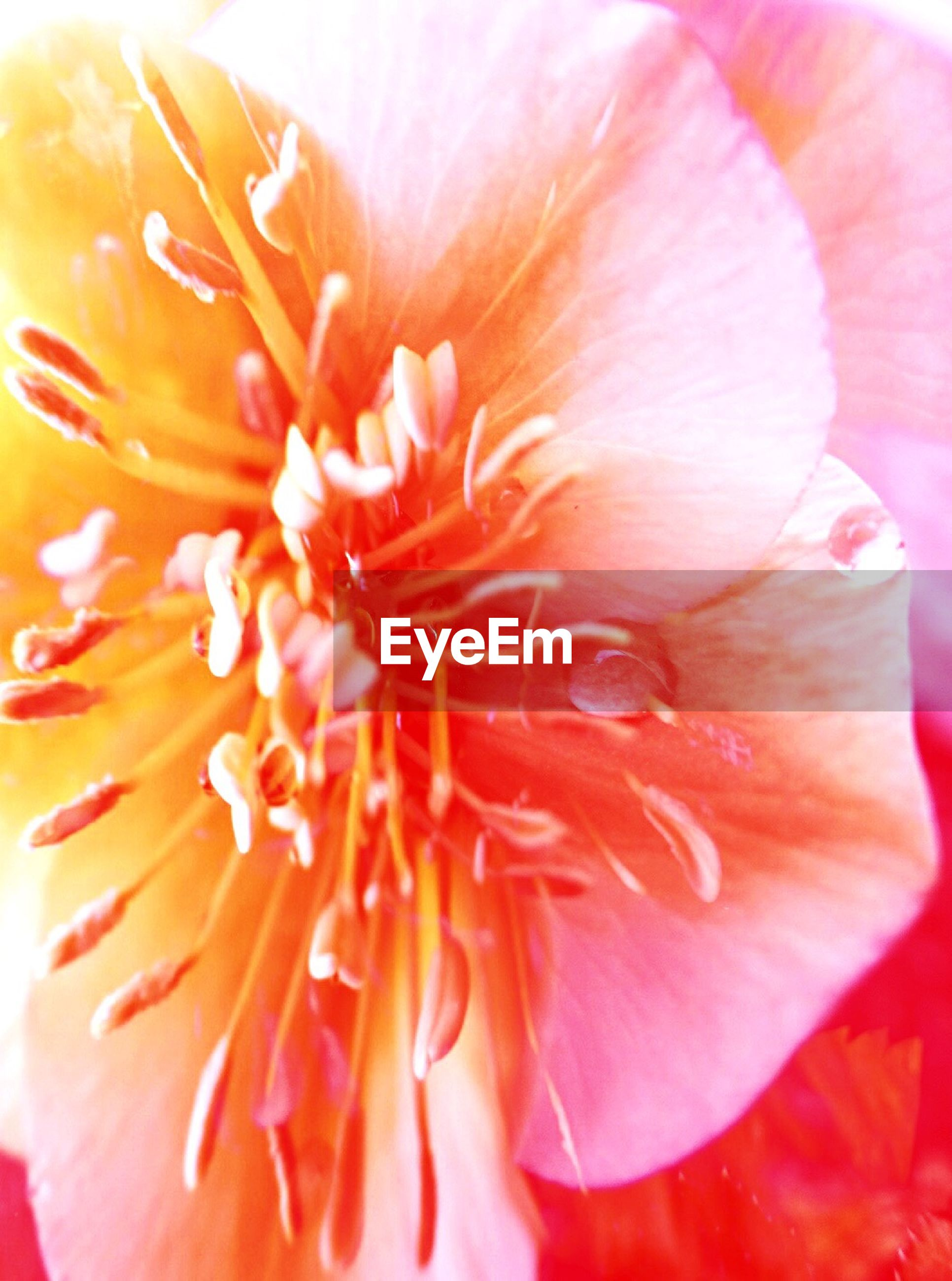 flower, fragility, freshness, beauty in nature, nature, petal, flower head, close-up, full frame, backgrounds, growth, red, macro, orange color, springtime, outdoors, no people, day, soft focus, pistil