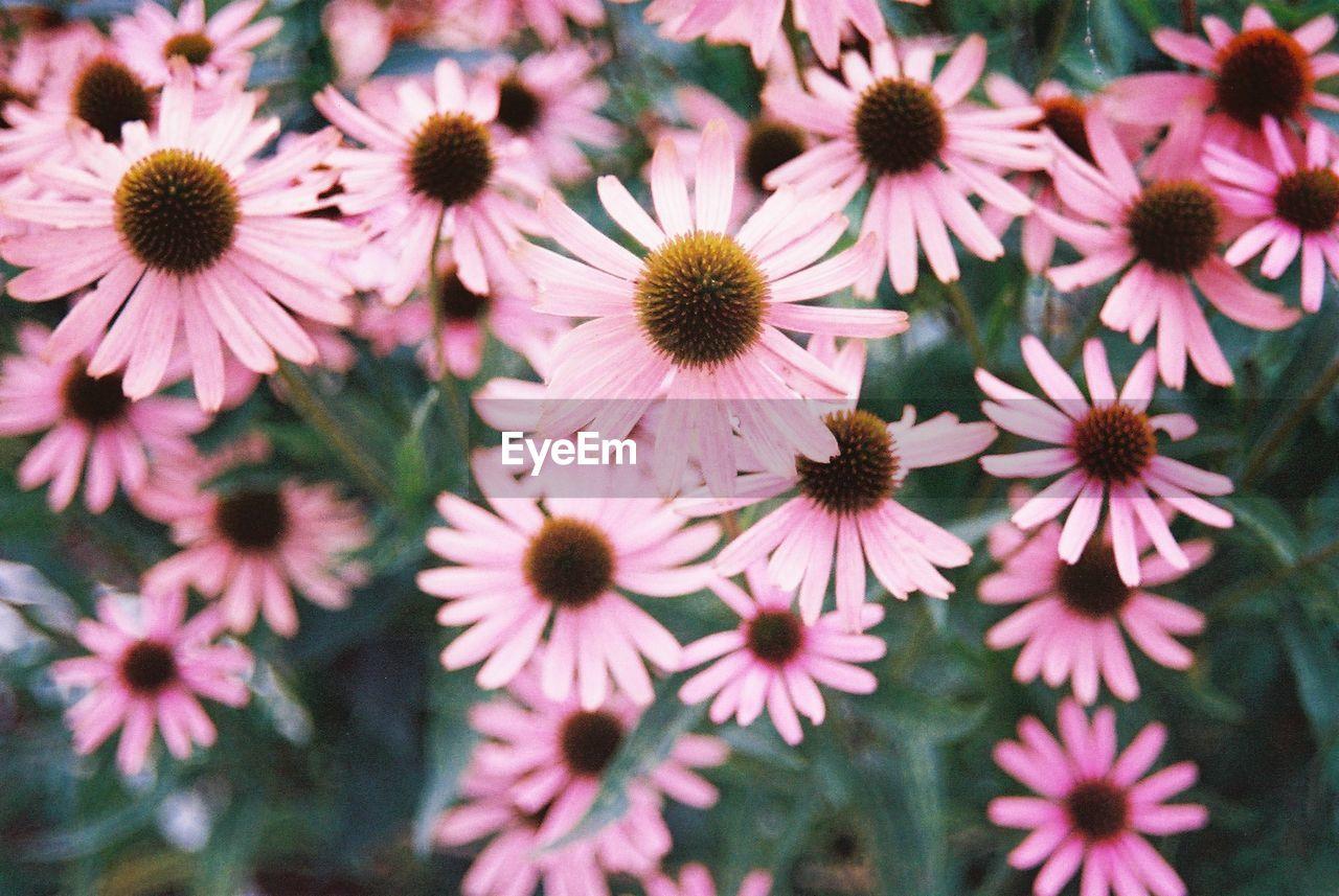 Full Frame Shot Of Pink Daisy Flowers