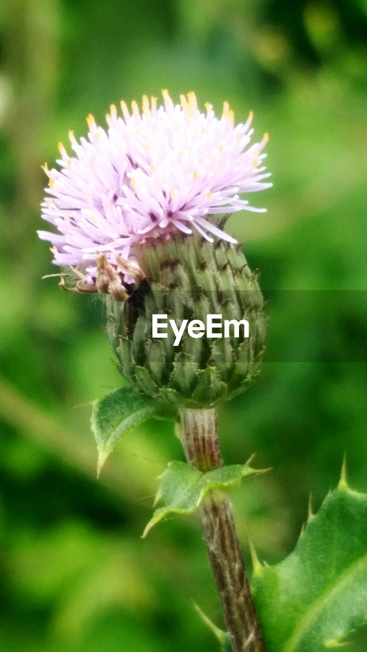 flower, plant, flowering plant, growth, close-up, vulnerability, freshness, fragility, beauty in nature, focus on foreground, green color, flower head, day, nature, inflorescence, no people, petal, selective focus, pink color, thistle, outdoors, springtime, sepal, purple