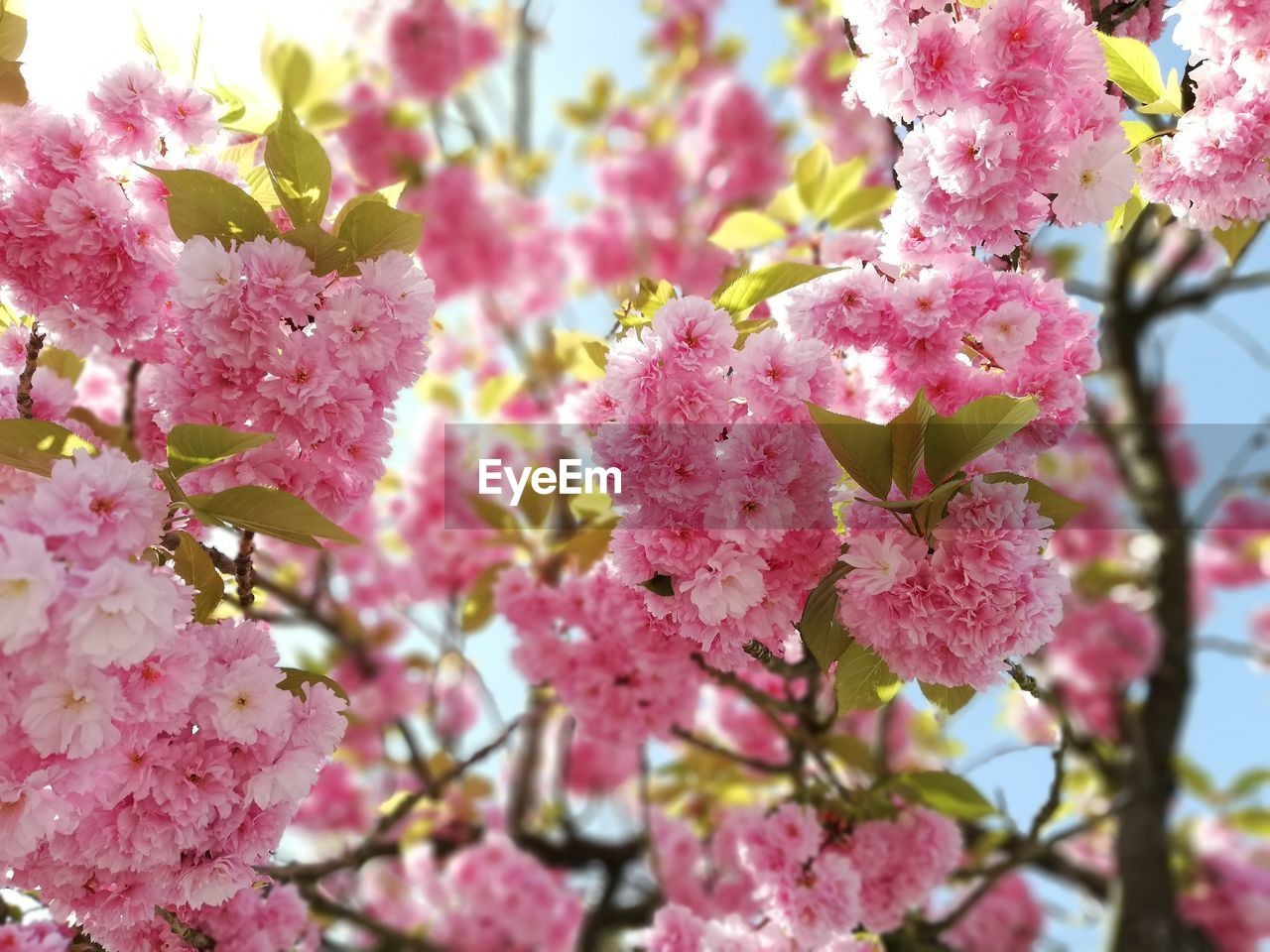 flowering plant, pink color, flower, fragility, plant, growth, vulnerability, freshness, beauty in nature, blossom, close-up, springtime, petal, no people, day, selective focus, nature, botany, tree, branch, cherry blossom, outdoors, flower head, cherry tree, pollen, spring, bunch of flowers, lilac