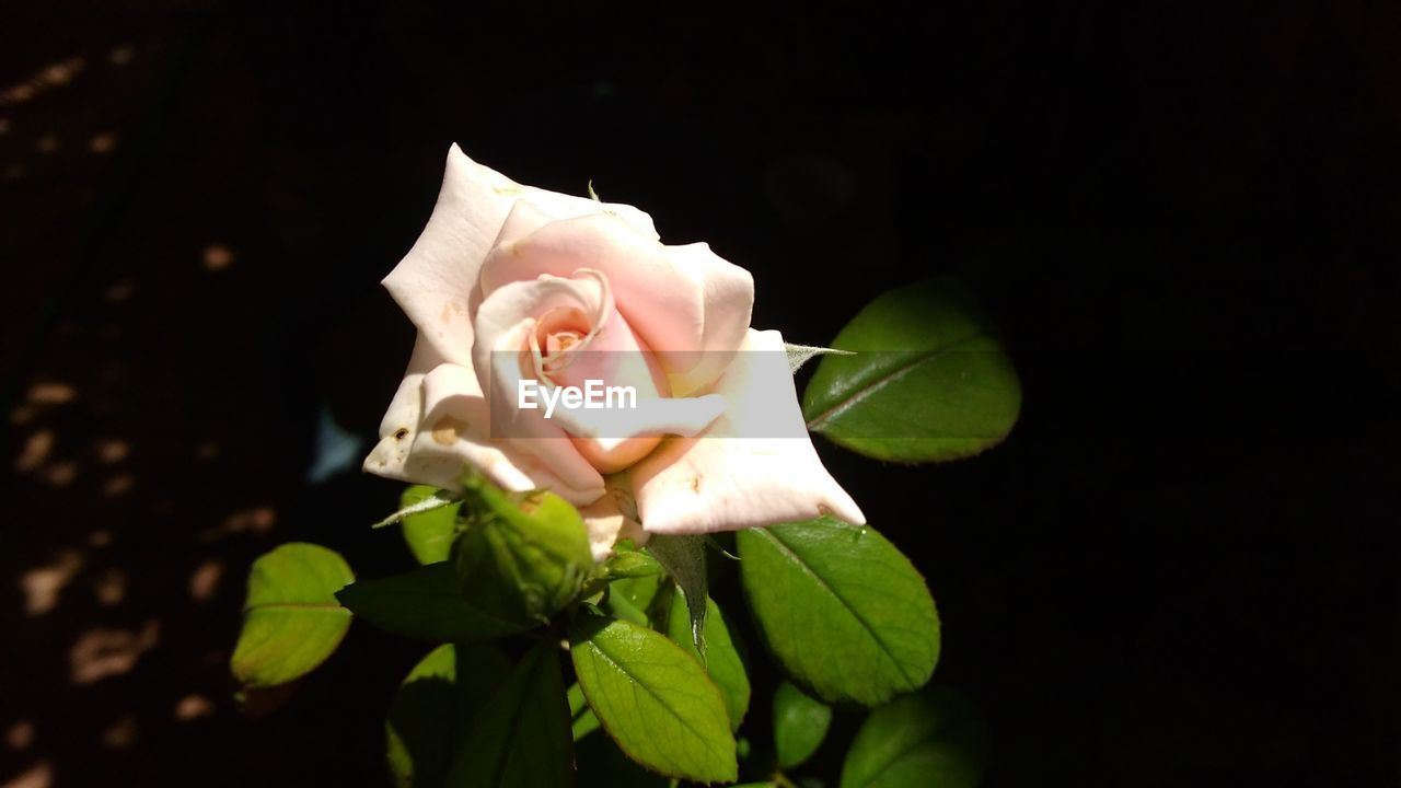 flower, petal, fragility, freshness, flower head, beauty in nature, nature, growth, leaf, plant, rose - flower, blooming, close-up, no people, night, outdoors