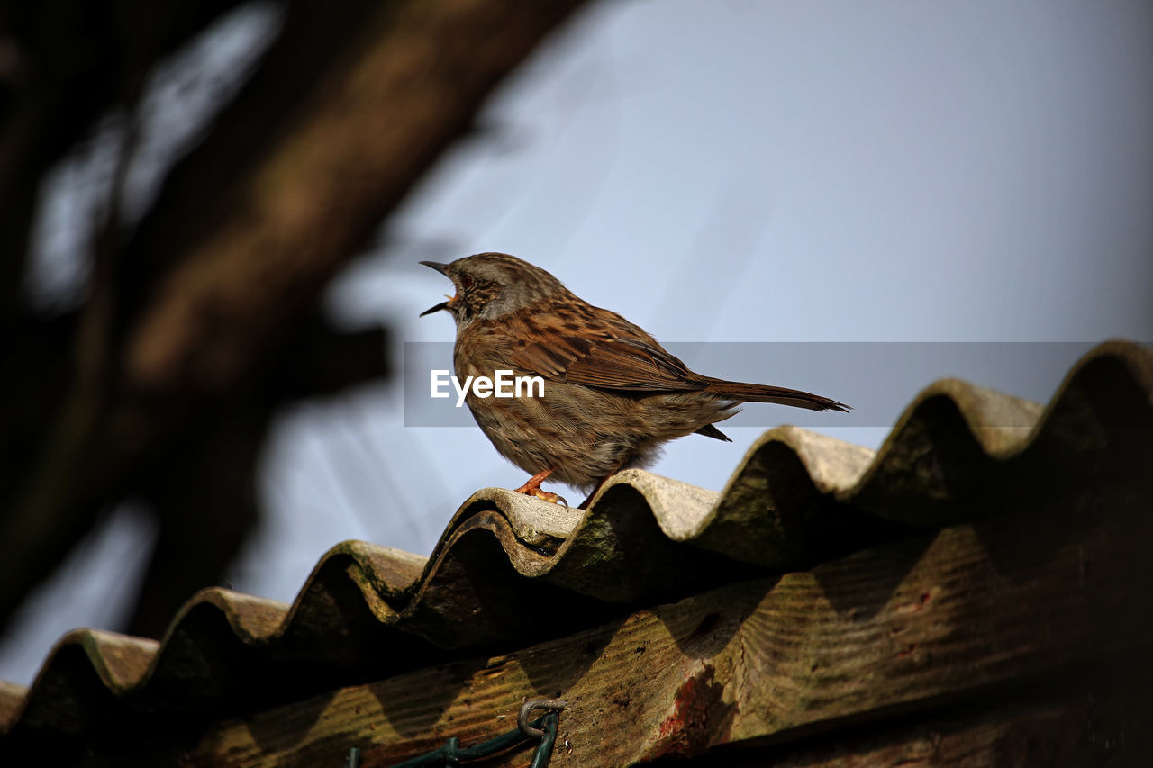 CLOSE-UP OF SPARROW PERCHING ON ROOF