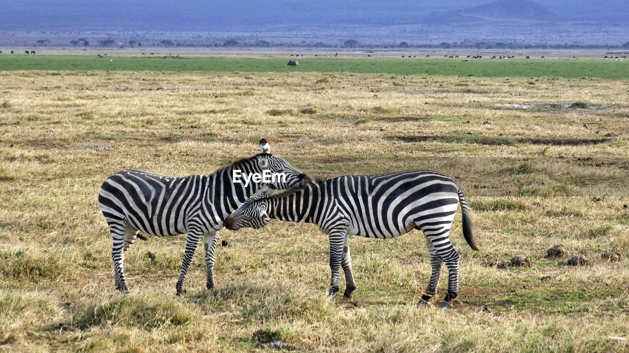Side View Of Zebras Standing On Grassy Field