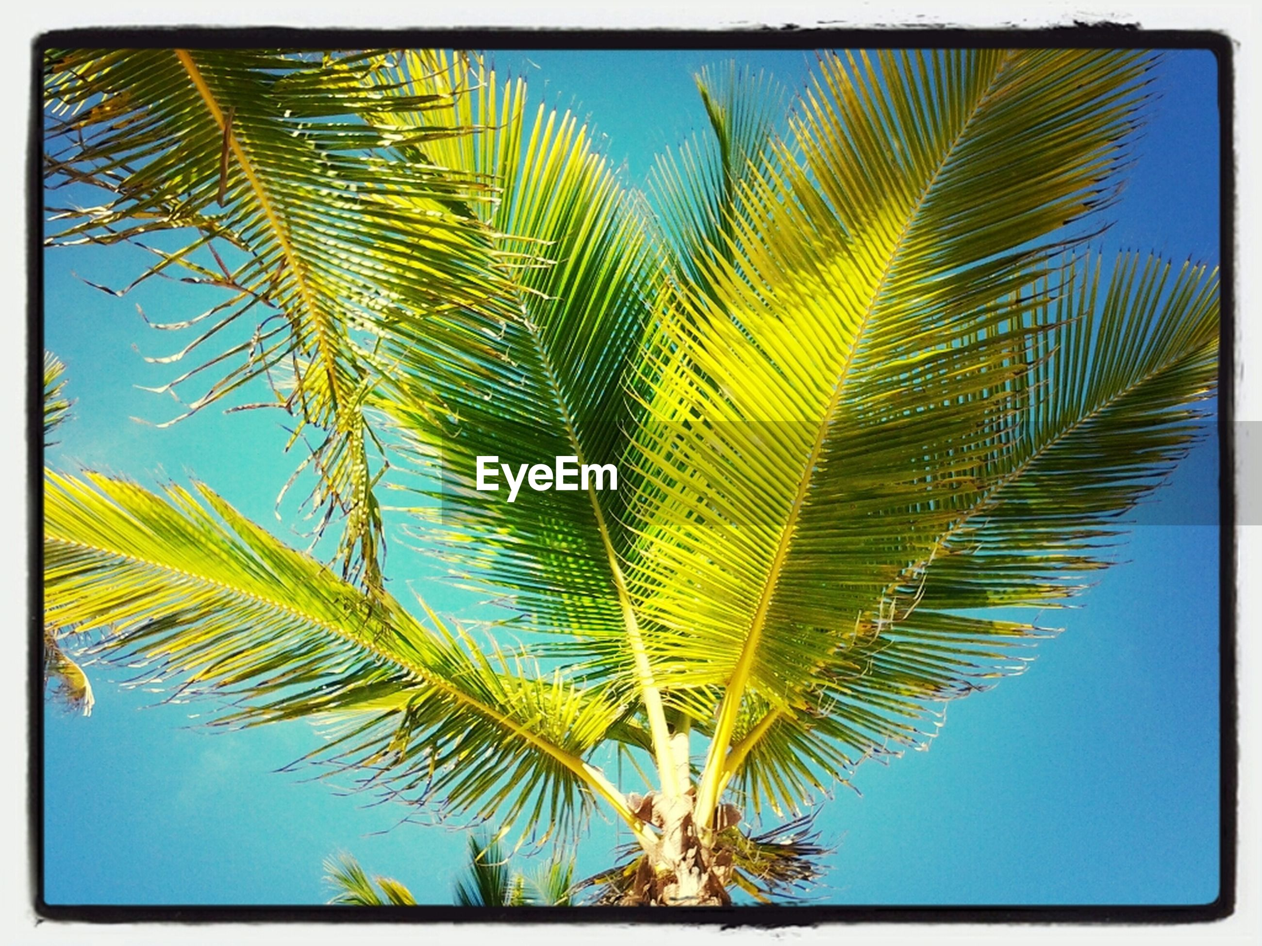 palm tree, low angle view, growth, transfer print, leaf, tree, blue, nature, auto post production filter, palm leaf, sky, green color, beauty in nature, clear sky, coconut palm tree, tranquility, day, sunlight, palm frond, tree trunk