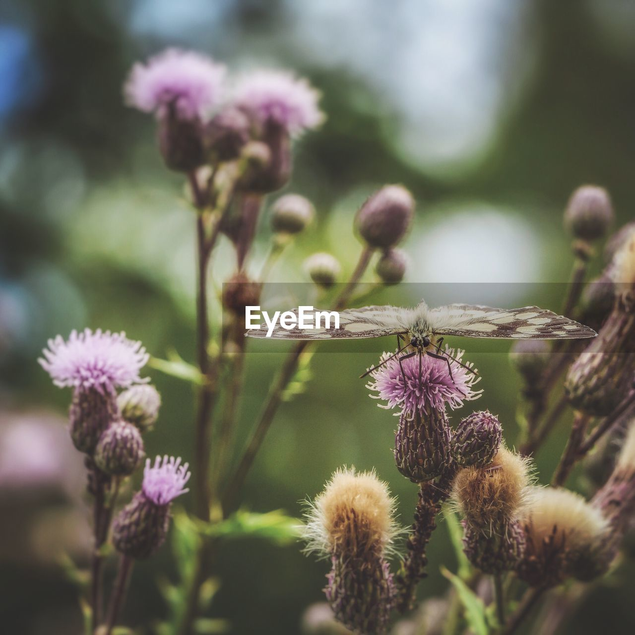 flowering plant, flower, plant, growth, fragility, vulnerability, beauty in nature, close-up, freshness, focus on foreground, purple, nature, flower head, selective focus, no people, day, inflorescence, petal, thistle, field, outdoors, springtime, lavender