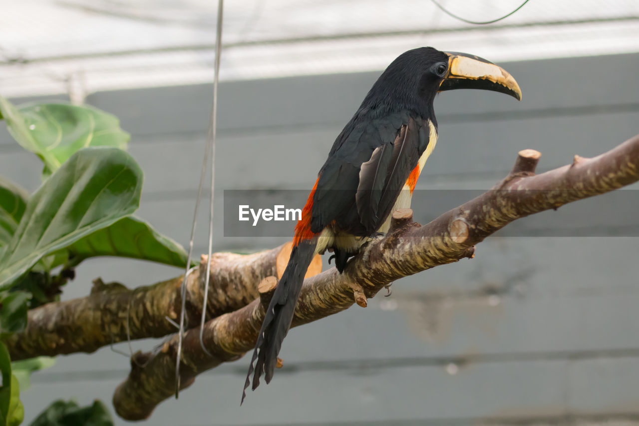 animal, vertebrate, bird, animal themes, animal wildlife, animals in the wild, branch, one animal, perching, focus on foreground, no people, tree, plant, outdoors, day, nature, beak, zoology, close-up, black color