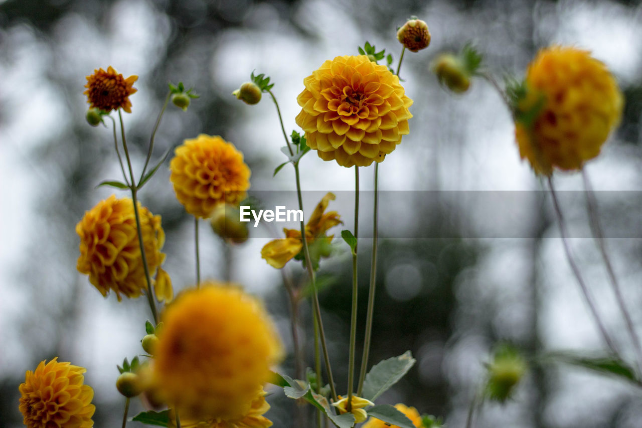 flower, flowering plant, plant, vulnerability, fragility, beauty in nature, growth, freshness, yellow, close-up, flower head, selective focus, focus on foreground, inflorescence, petal, no people, nature, plant stem, day, botany, outdoors