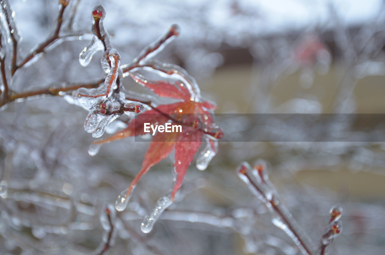 winter, cold temperature, frozen, ice, snow, focus on foreground, close-up, nature, no people, water, red, twig, day, plant, branch, beauty in nature, frost, outdoors, icicle