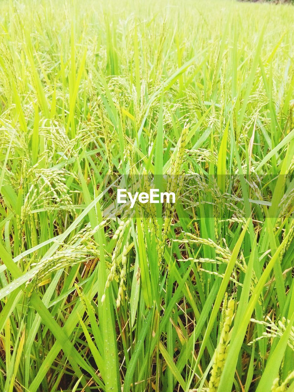 green color, plant, growth, field, beauty in nature, land, nature, agriculture, full frame, grass, day, close-up, tranquility, no people, backgrounds, rural scene, crop, landscape, farm, cereal plant, outdoors, blade of grass