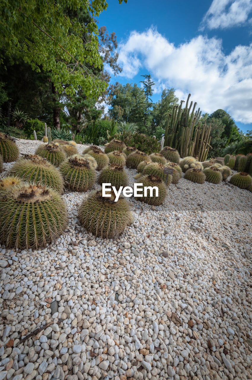 plant, growth, nature, sky, beauty in nature, no people, cactus, day, succulent plant, cloud - sky, land, tranquility, green color, tranquil scene, barrel cactus, solid, tree, scenics - nature, gravel, stone - object, outdoors, pebble, ecosystem