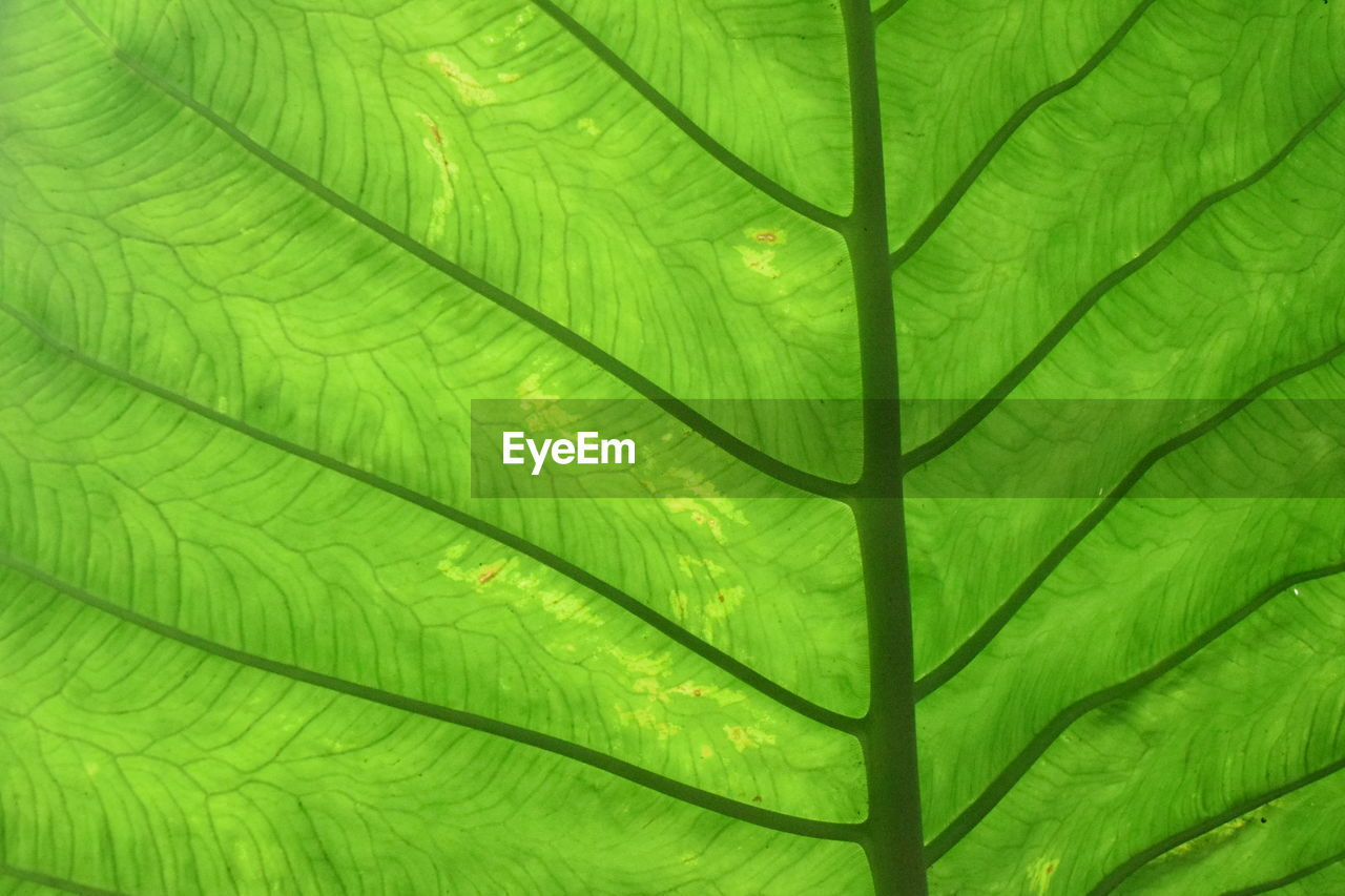 green color, leaf, plant part, backgrounds, full frame, pattern, leaf vein, no people, growth, plant, beauty in nature, nature, close-up, day, natural pattern, palm leaf, tree, textured, outdoors, freshness, leaves, rainforest