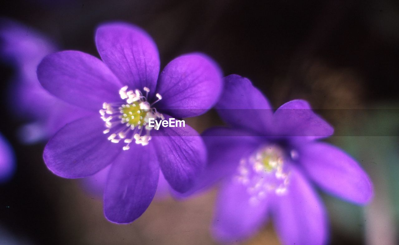 flower, petal, purple, beauty in nature, nature, flower head, fragility, freshness, blooming, focus on foreground, growth, no people, close-up, plant, outdoors, day, osteospermum, periwinkle