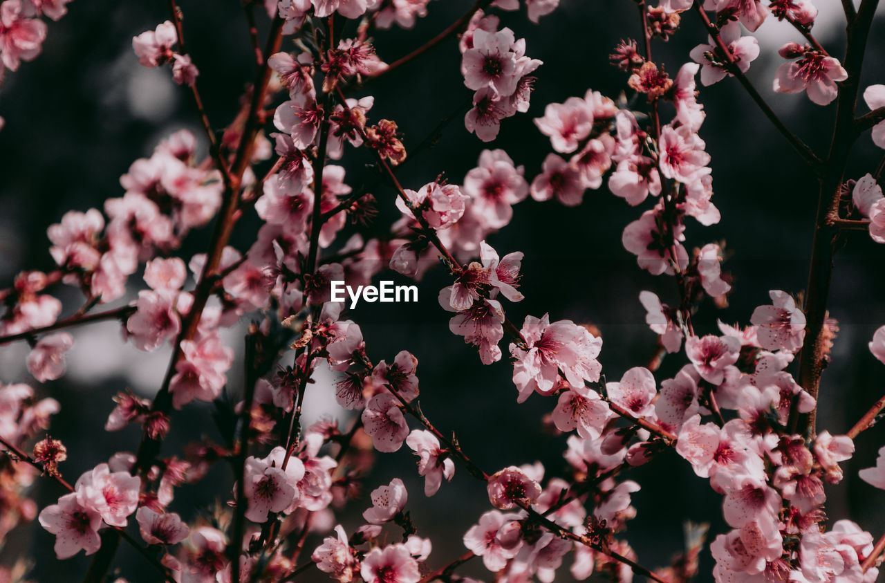 flowering plant, flower, plant, growth, fragility, vulnerability, freshness, beauty in nature, pink color, no people, springtime, blossom, close-up, petal, branch, tree, nature, day, selective focus, botany, flower head, outdoors, cherry blossom, cherry tree, spring