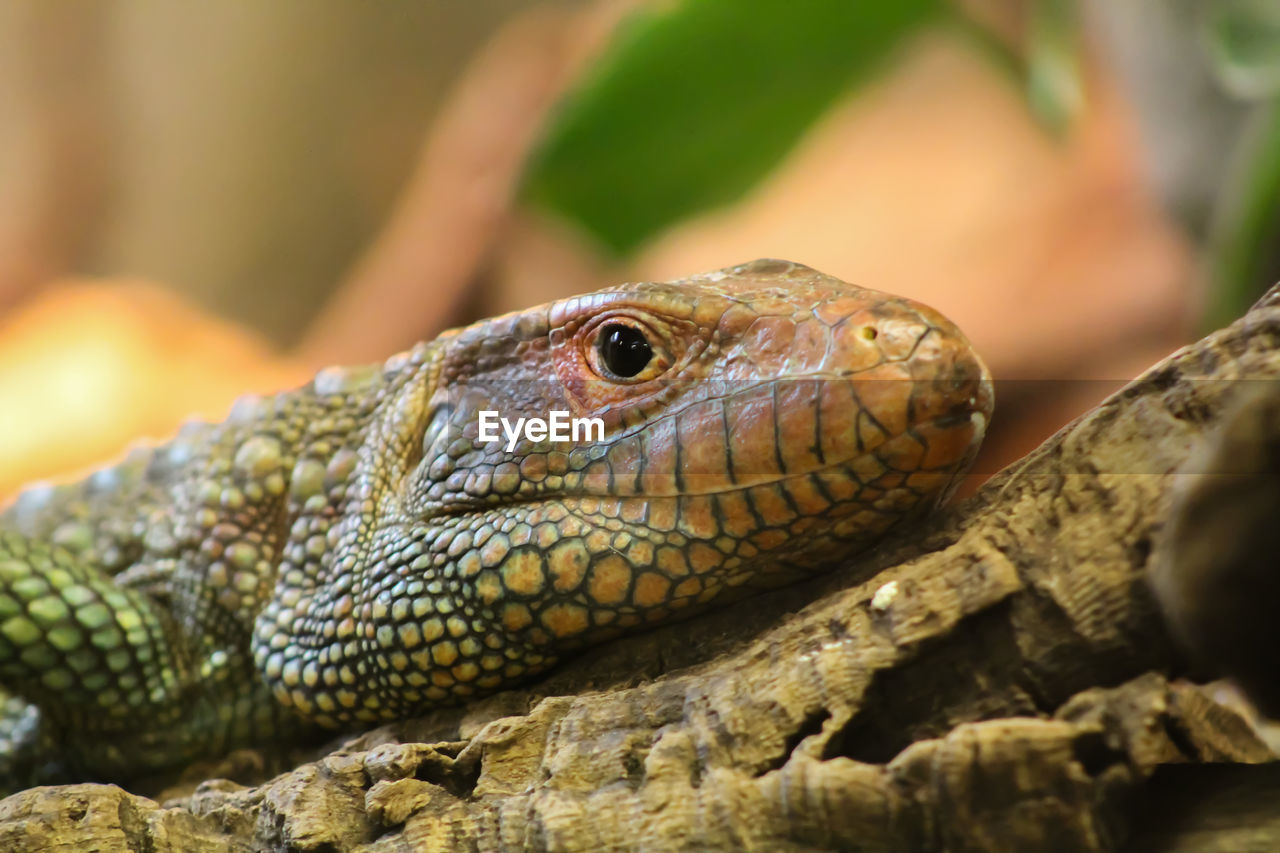 reptile, animals in the wild, animal themes, one animal, animal wildlife, lizard, close-up, no people, outdoors, day, nature, iguana