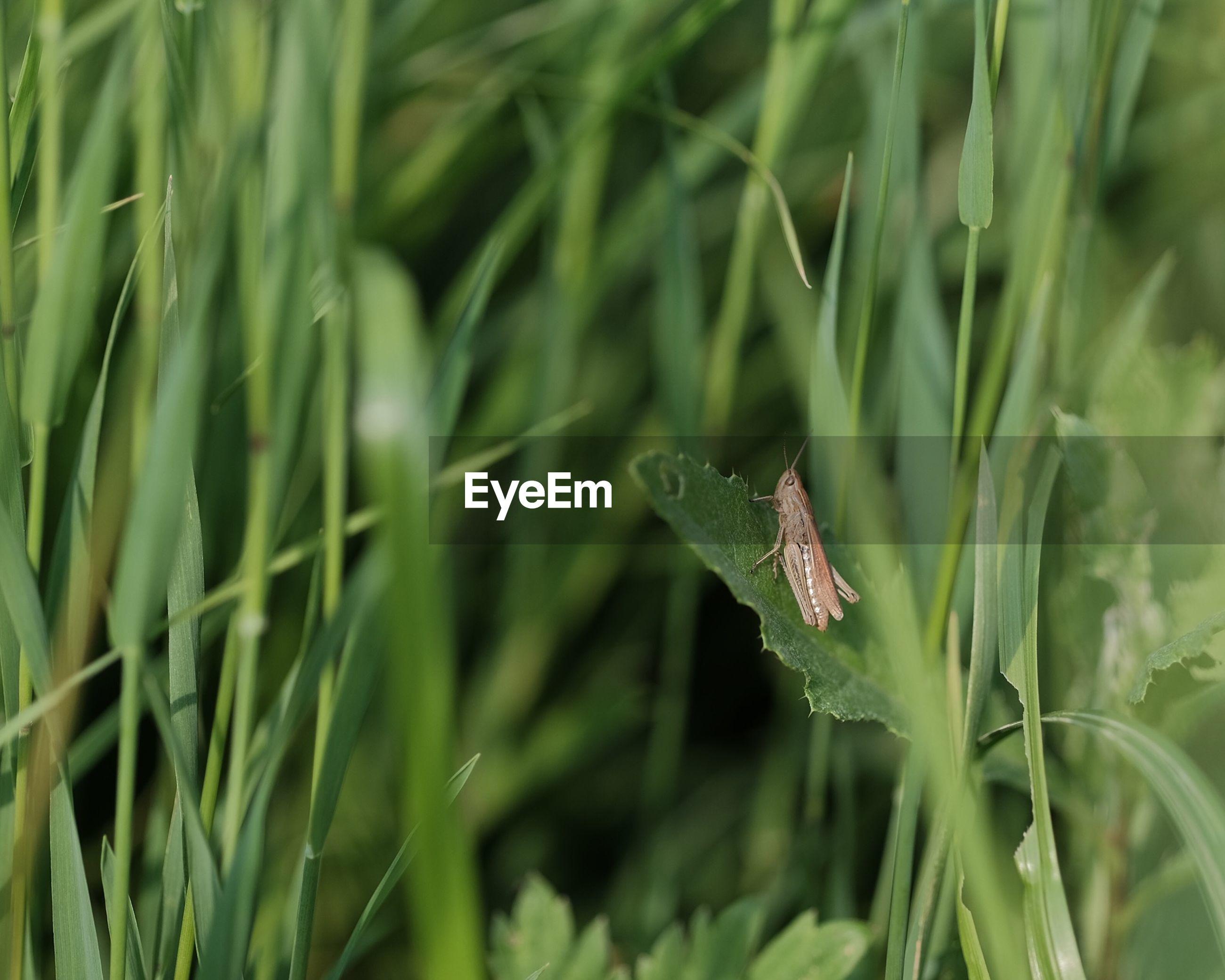 Grasshopper on leaf at field