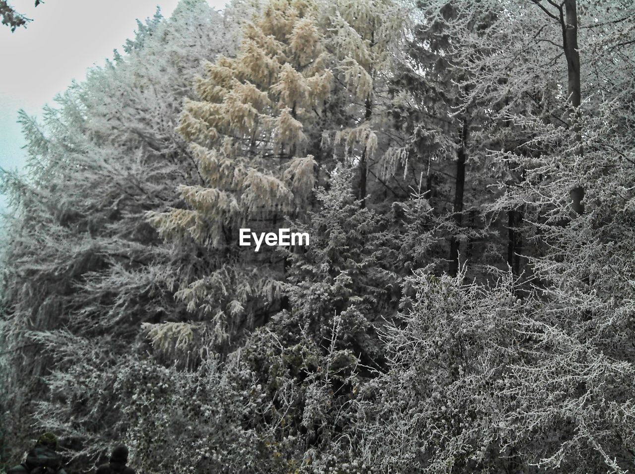plant, tree, growth, beauty in nature, no people, nature, forest, tranquility, day, land, winter, tranquil scene, cold temperature, scenics - nature, non-urban scene, outdoors, environment, snow, branch, sky, coniferous tree, fir tree, pine woodland