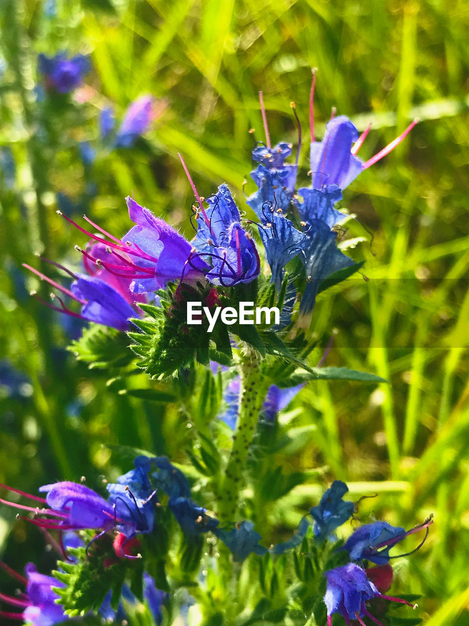 plant, flowering plant, flower, purple, beauty in nature, vulnerability, fragility, growth, freshness, petal, close-up, nature, blue, inflorescence, flower head, no people, day, focus on foreground, field, land, outdoors, pollination