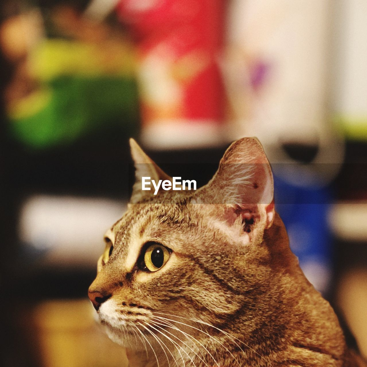 domestic animals, cat, domestic, animal themes, pets, mammal, feline, animal, one animal, domestic cat, vertebrate, close-up, focus on foreground, whisker, animal body part, no people, animal head, looking away, looking, indoors, animal eye, tabby