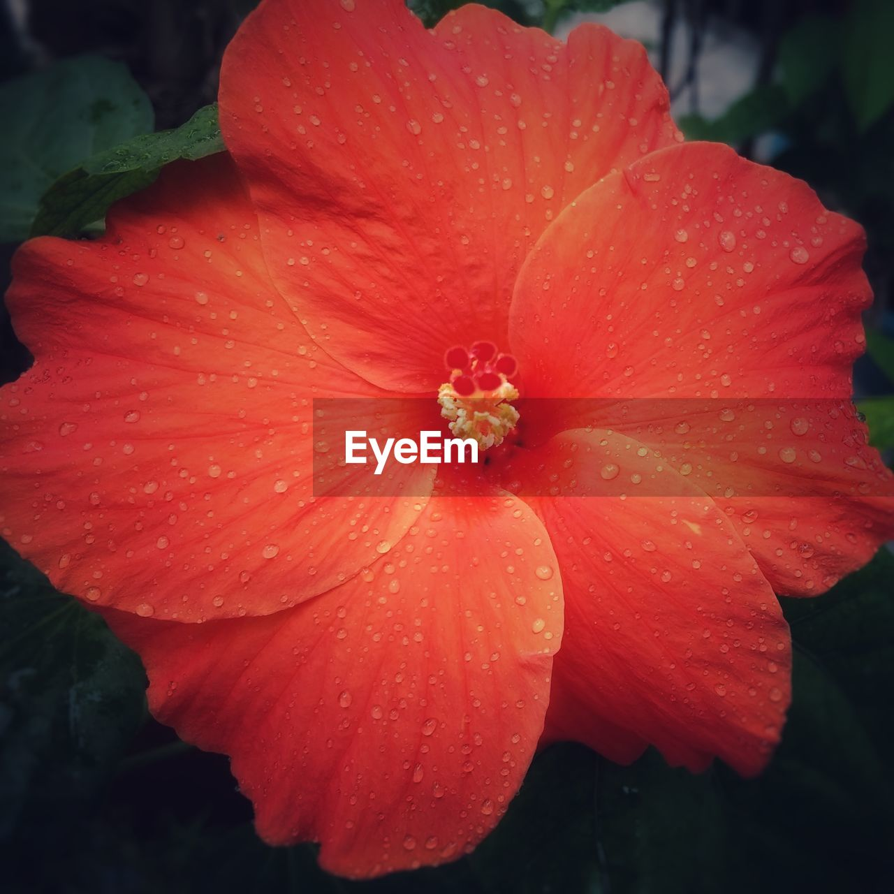 petal, flower, flower head, fragility, beauty in nature, nature, freshness, growth, drop, plant, blooming, water, no people, red, outdoors, wet, day, close-up, hibiscus, day lily