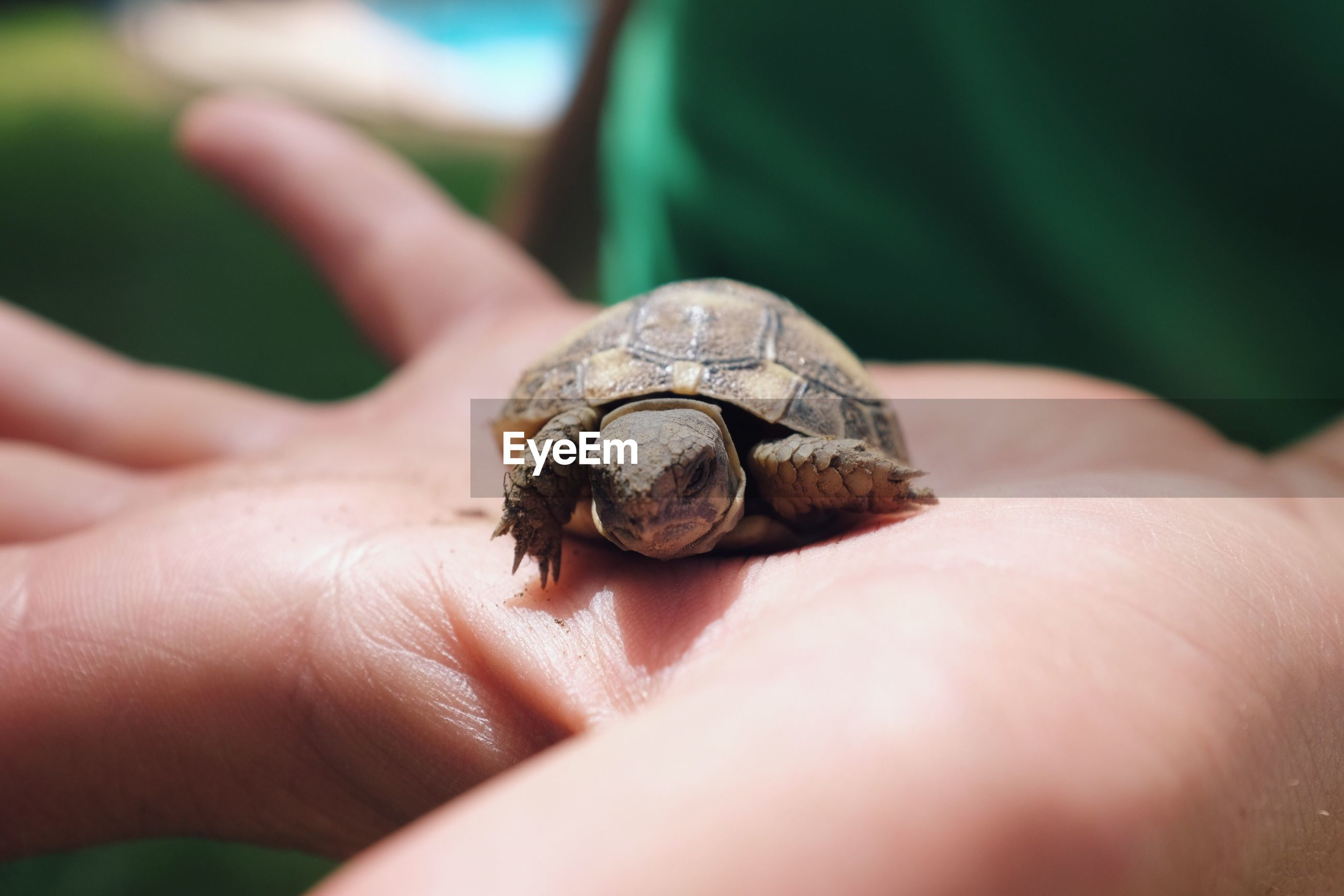 Close-up of hand holding turtle