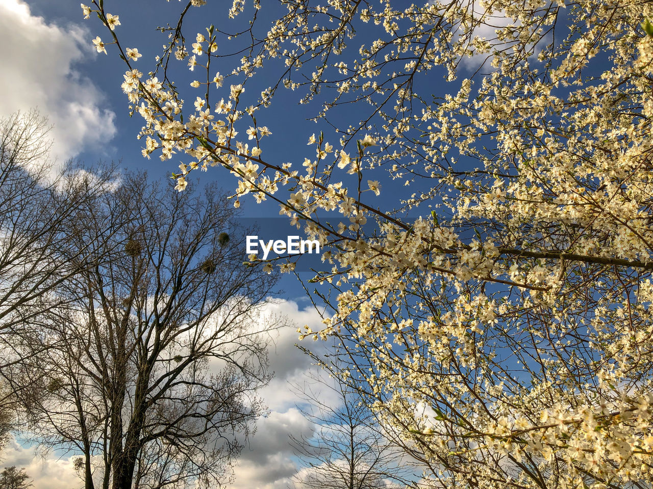 tree, plant, low angle view, sky, branch, beauty in nature, growth, nature, cloud - sky, day, no people, flower, flowering plant, outdoors, springtime, blossom, tranquility, sunlight, bare tree, freshness, cherry blossom, cherry tree