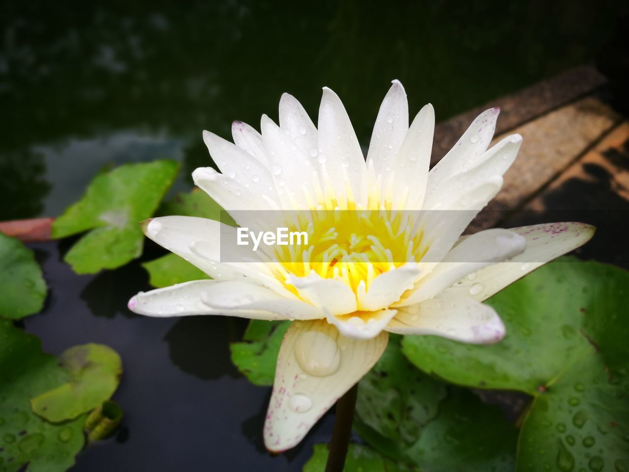 flowering plant, flower, freshness, plant, beauty in nature, water, flower head, fragility, inflorescence, growth, water lily, petal, vulnerability, pond, close-up, nature, leaf, white color, pollen, no people, floating on water, lotus water lily, outdoors, raindrop