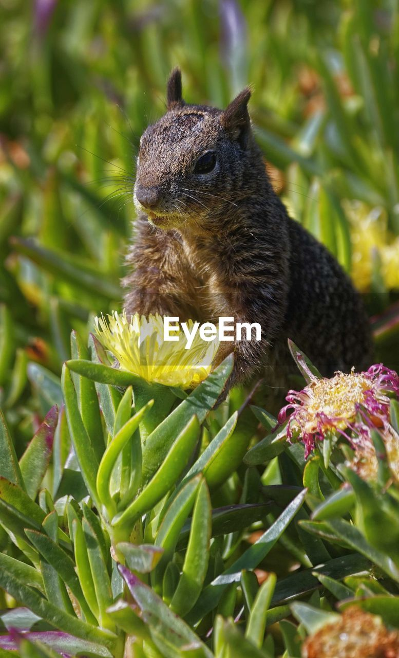 animal, animal themes, animal wildlife, one animal, animals in the wild, plant, flower, flowering plant, nature, close-up, no people, day, growth, mammal, green color, rodent, vertebrate, beauty in nature, squirrel, focus on foreground, outdoors, flower head