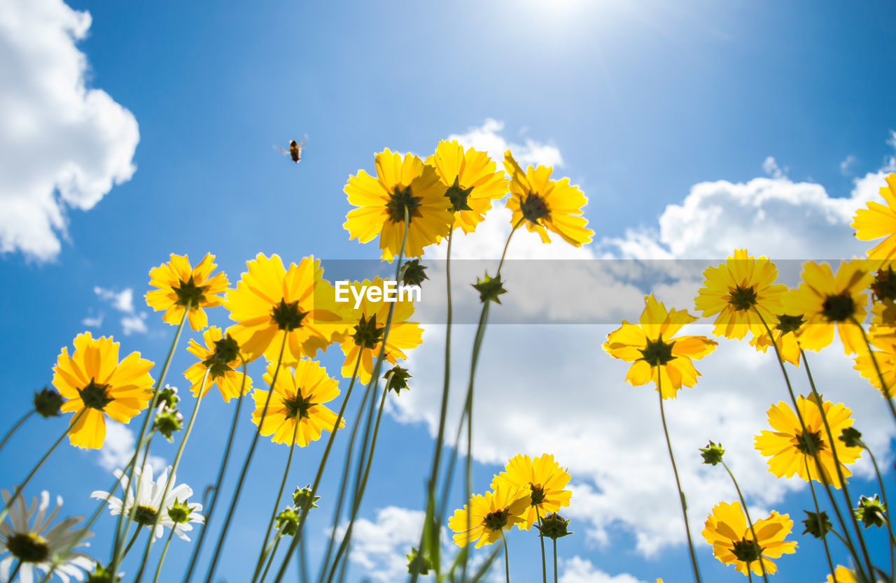 Bee hovering on yellow flowers blooming against sky