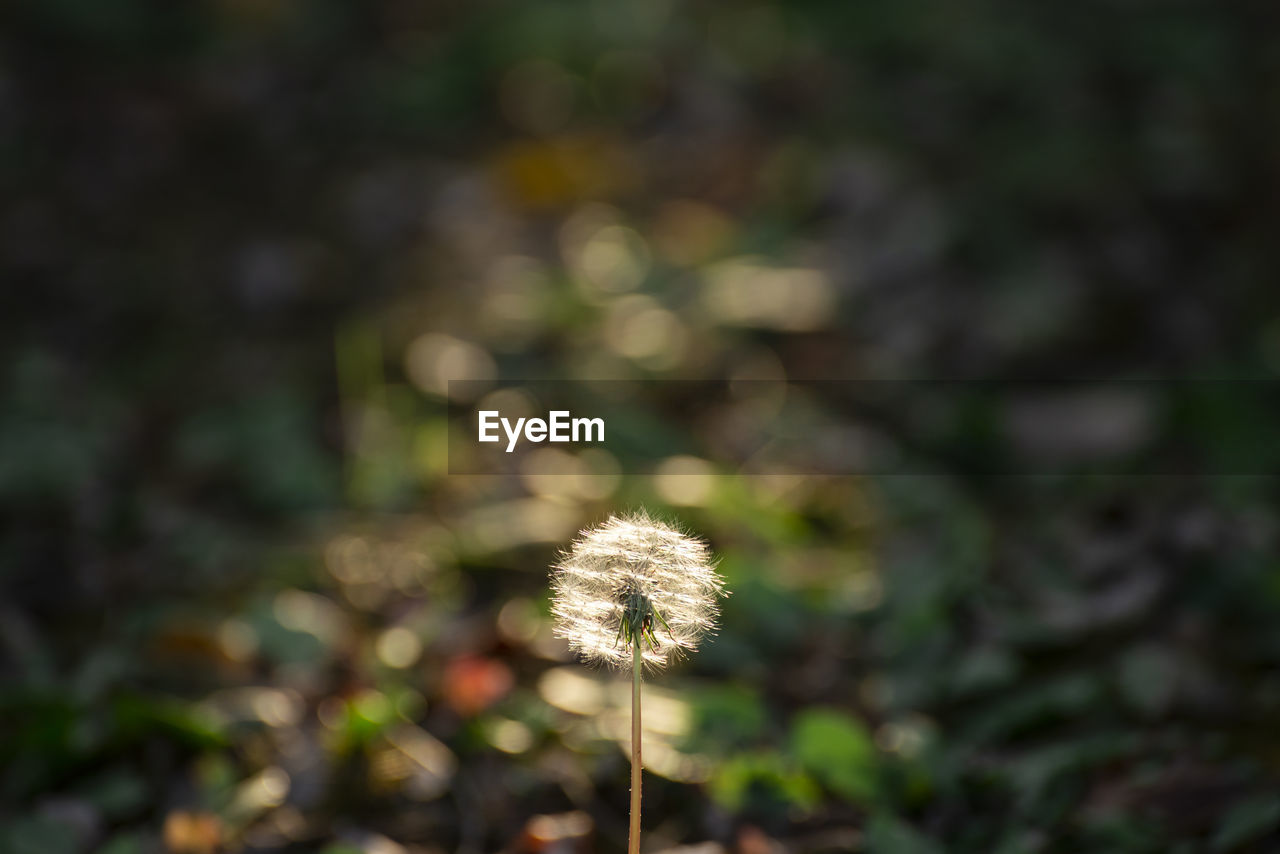plant, fragility, beauty in nature, vulnerability, freshness, dandelion, growth, flower, nature, flowering plant, close-up, focus on foreground, no people, day, field, land, plant stem, outdoors, flower head, tranquility, softness, dandelion seed