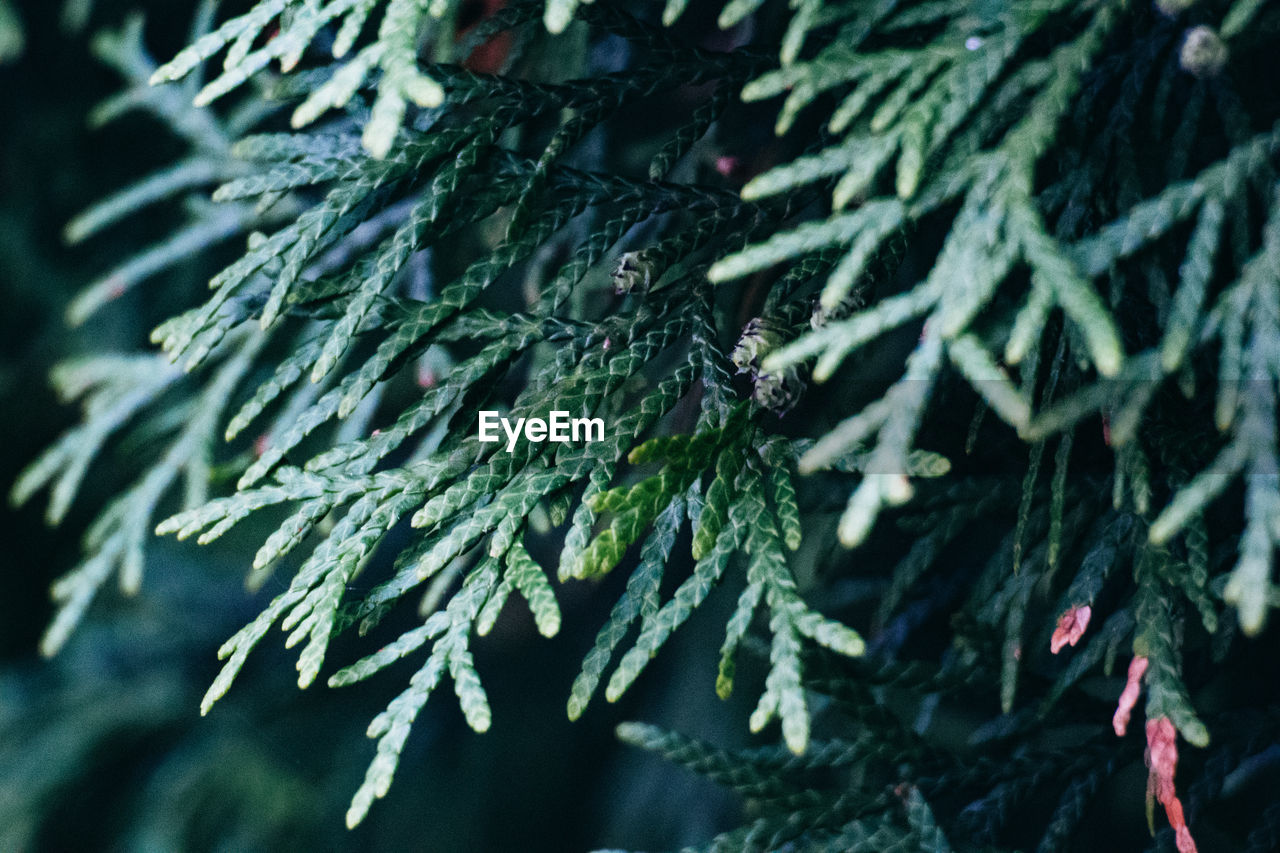 Close-Up Of Coniferous Tree Growing Outdoors