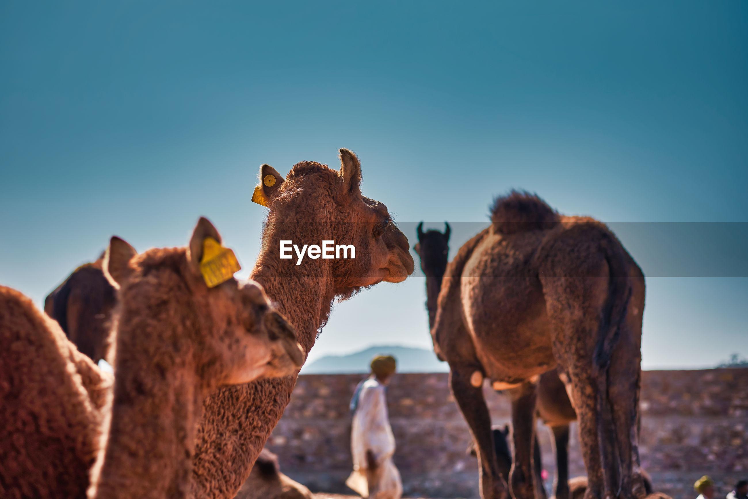 A man between camels in pushkar animal fair