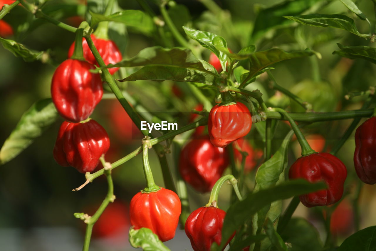 CLOSE-UP OF RED CHERRIES GROWING ON PLANT