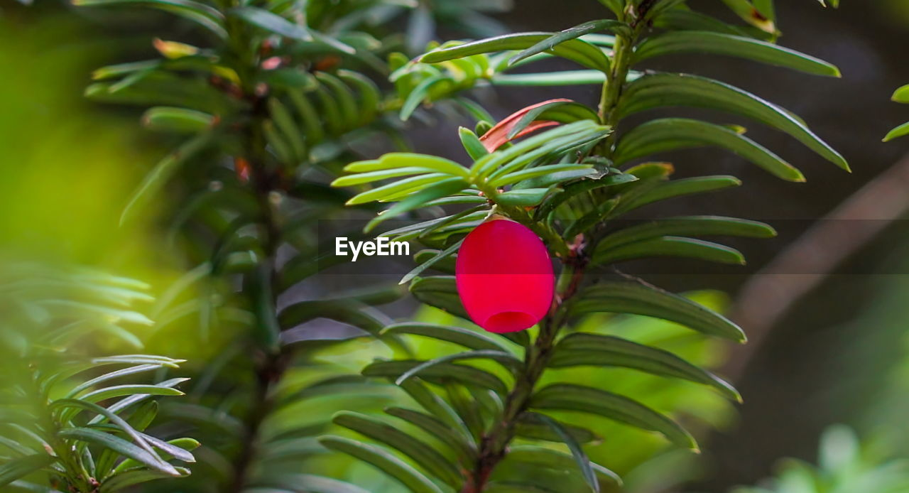 plant, leaf, freshness, plant part, green color, growth, beauty in nature, close-up, red, no people, nature, day, focus on foreground, flower, selective focus, outdoors, fragility, flowering plant, vulnerability, petal
