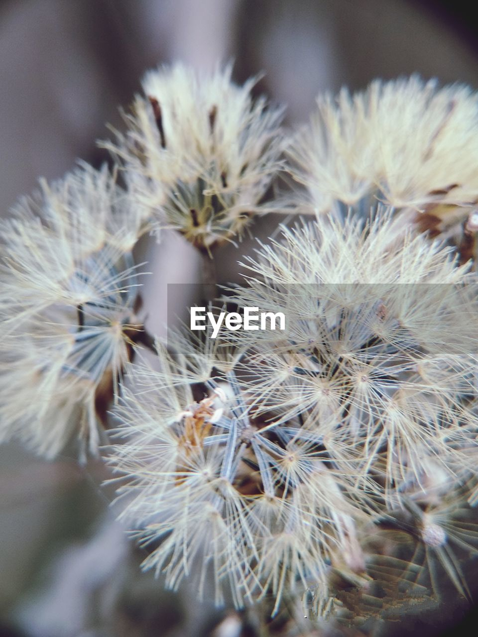 close-up, flower, fragility, plant, flowering plant, vulnerability, growth, beauty in nature, freshness, dandelion, nature, no people, selective focus, day, flower head, focus on foreground, inflorescence, white color, outdoors, softness, dandelion seed, spiky, wilted plant
