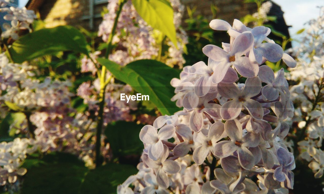 plant, growth, flowering plant, vulnerability, flower, beauty in nature, fragility, petal, freshness, close-up, flower head, nature, inflorescence, focus on foreground, white color, day, no people, leaf, plant part, outdoors, springtime, lilac