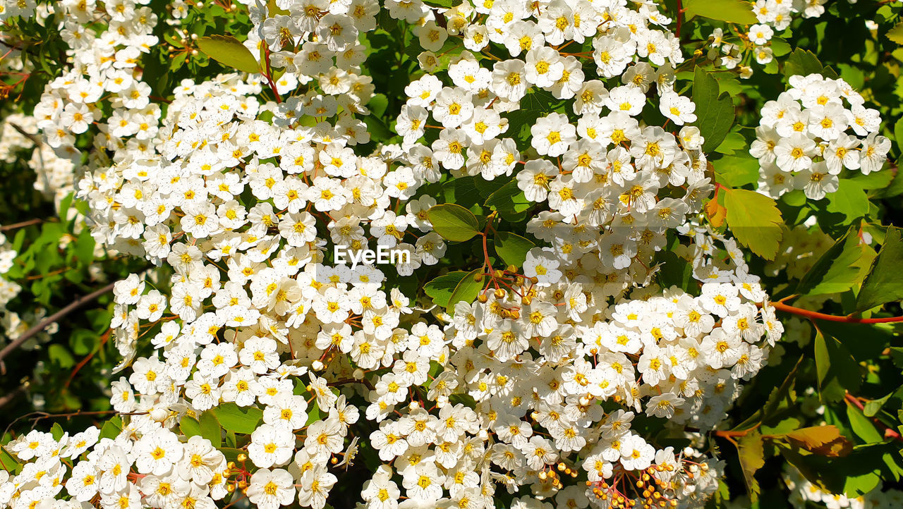 CLOSE-UP OF FRESH WHITE FLOWERING PLANTS