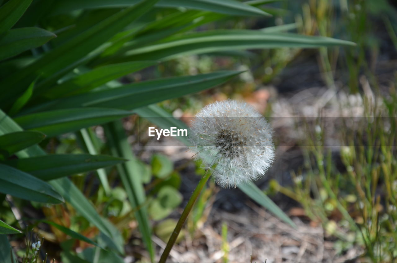 plant, growth, flower, fragility, vulnerability, flowering plant, beauty in nature, close-up, freshness, nature, day, dandelion, green color, no people, focus on foreground, land, field, flower head, inflorescence, outdoors, softness, dandelion seed