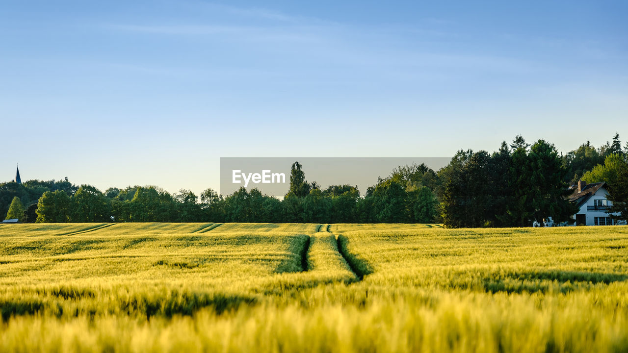 tree, field, tranquility, nature, grass, beauty in nature, growth, green color, tranquil scene, no people, landscape, scenics, agriculture, outdoors, day, sky, blue, rural scene
