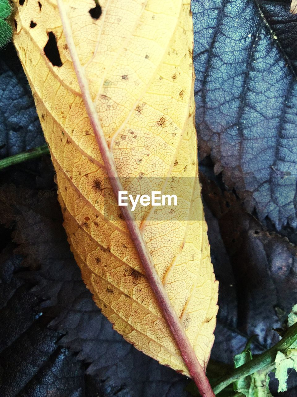 leaf, autumn, change, dry, day, outdoors, no people, close-up, high angle view, nature, maple leaf, fragility, maple, beauty in nature