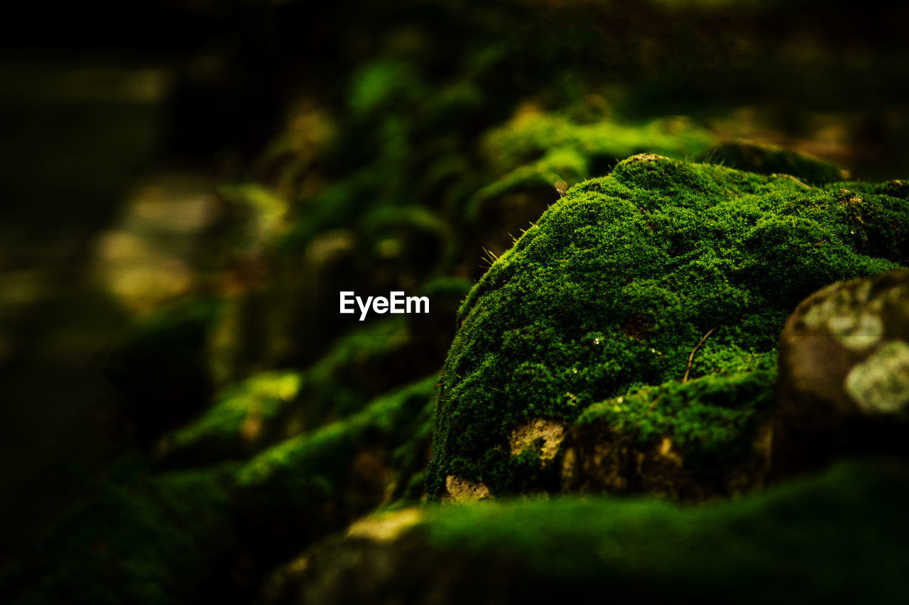green color, moss, selective focus, plant, growth, no people, close-up, nature, beauty in nature, tree, day, tranquility, outdoors, covering, plant part, leaf, vegetable, rock, solid, focus on foreground, lichen