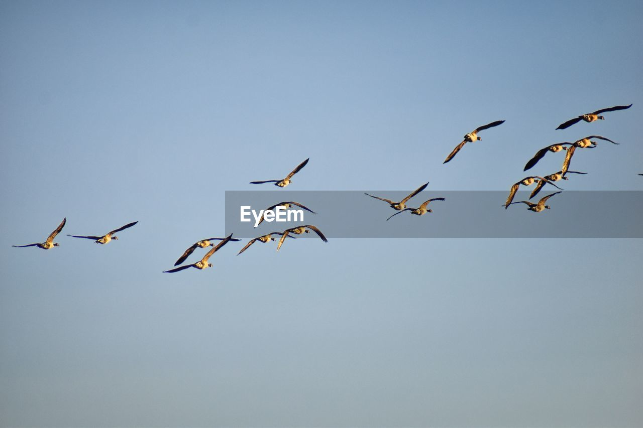 sky, animal wildlife, group of animals, animal themes, animal, animals in the wild, bird, flying, vertebrate, low angle view, clear sky, no people, large group of animals, nature, mid-air, copy space, beauty in nature, spread wings, blue, day, flock of birds