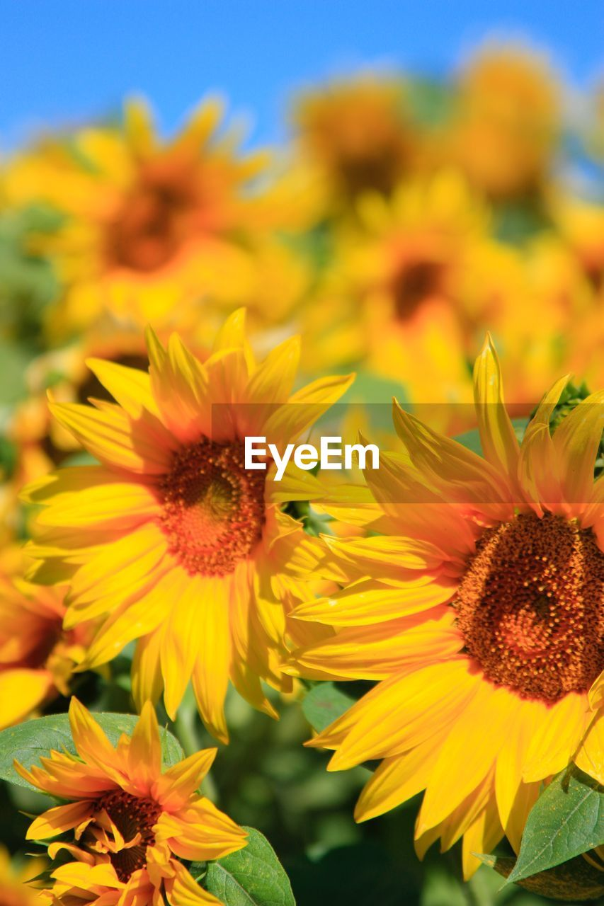flower, flowering plant, fragility, freshness, vulnerability, petal, flower head, yellow, beauty in nature, inflorescence, plant, growth, close-up, pollen, nature, no people, sunflower, focus on foreground, selective focus, outdoors
