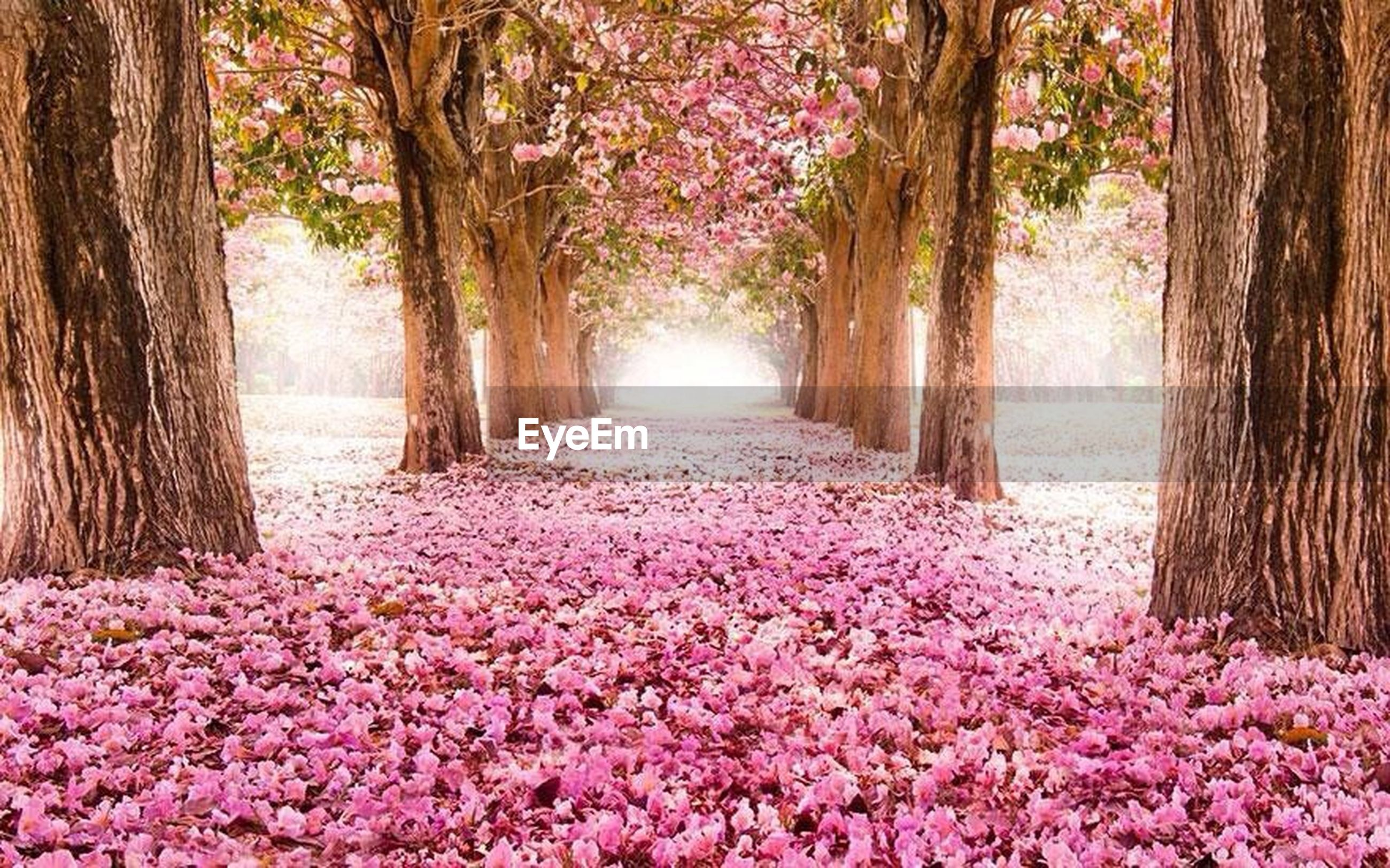 flower, tree, freshness, fragility, beauty in nature, growth, blossom, nature, pink color, abundance, the way forward, season, branch, tree trunk, petal, springtime, cherry blossom, in bloom, park - man made space, blooming