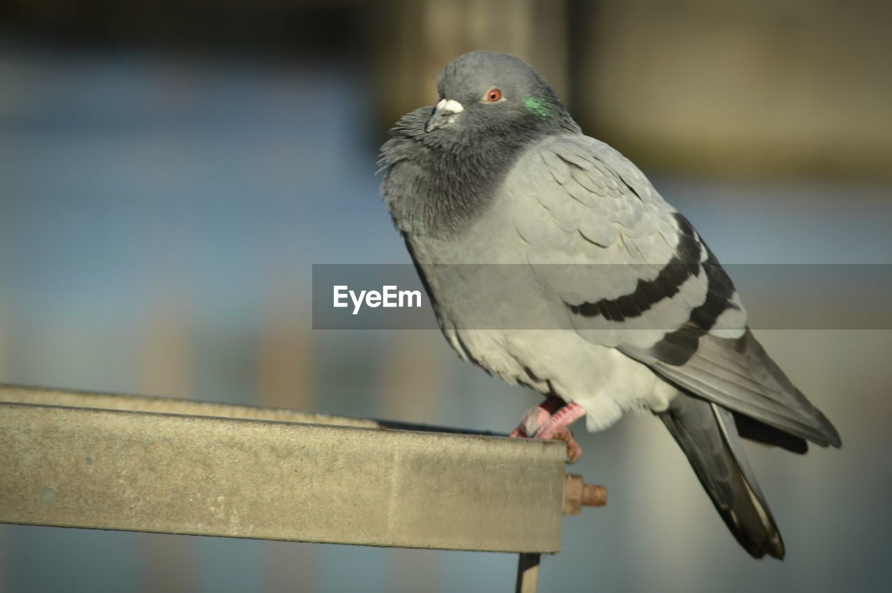 Close-up of pigeon on metal