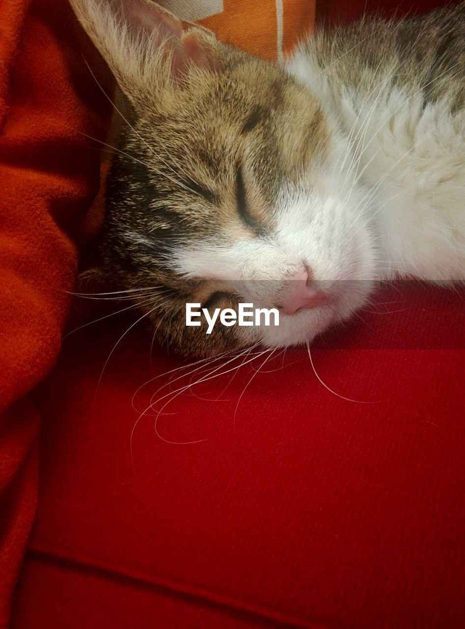 domestic cat, pets, domestic animals, feline, one animal, mammal, cat, animal themes, indoors, whisker, red, close-up, one person, day, people